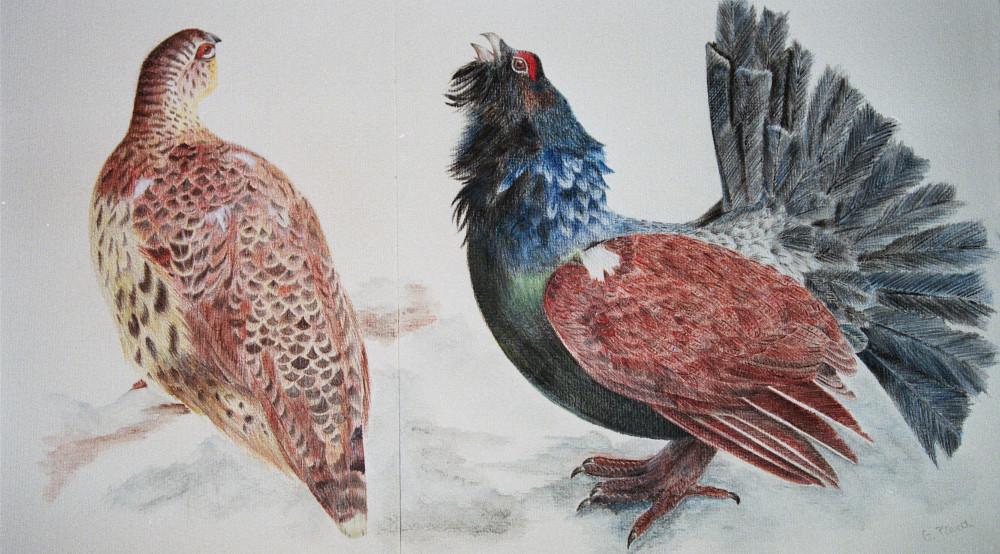Coppia di galli cedroni